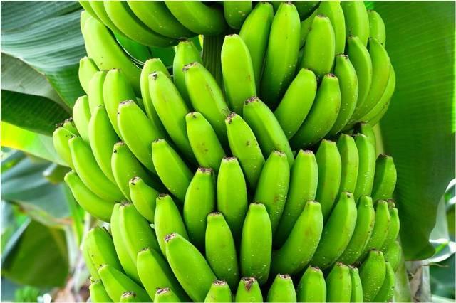 Seguimiento nutricional en cultivo de banano orgánico