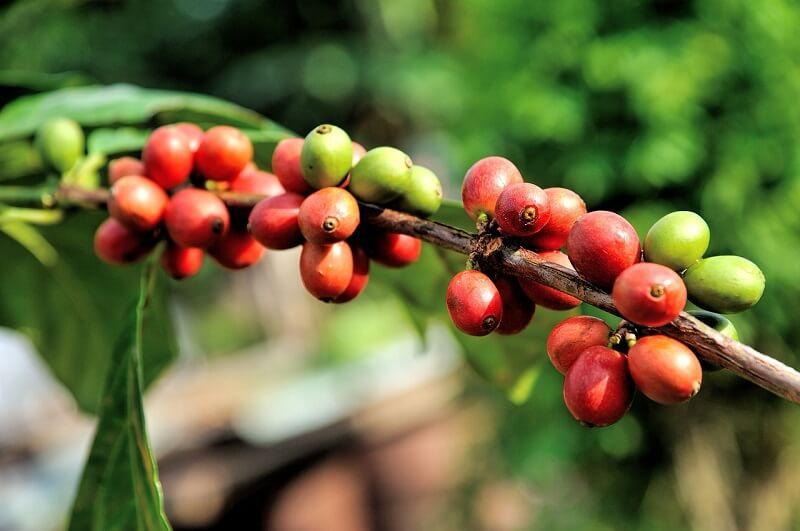 Analisis de Glifosato en cultivos de Cafe Peru