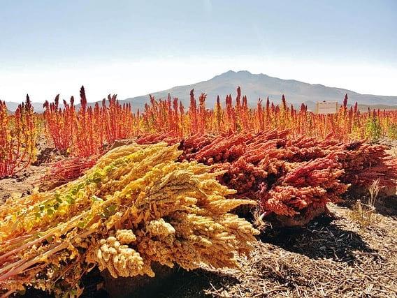 Análisis de quinoa, nuevo barrido de pesticidas