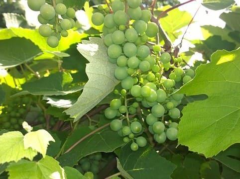 Analisis de reservas en raices y yemas en uva de mesa
